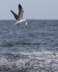Grey-headed gull with a fish in his beak above a bait ball