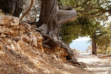 An old tree with wide curved roots along the footpath.