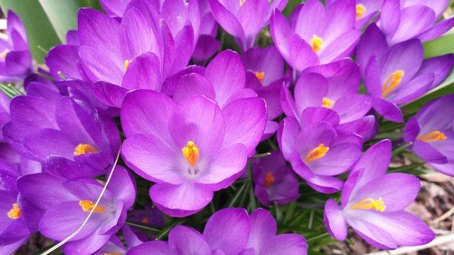 Crocus Flowers in the Spring