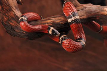 Milk snake on the branch