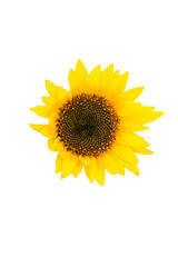 """Cutout of """"Child"""", Sunflower in Summer"""