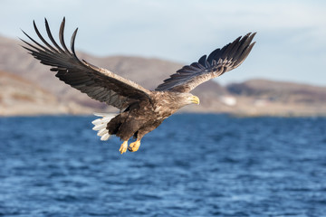 White-tailed Eagle in flight.