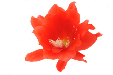 Red flower of Epiphyllum cactus isolated on white.