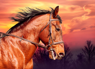 Wall Mural - Portrait of bay horse on the run against the sunset