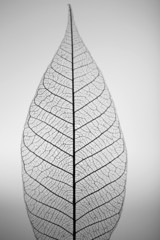 In de dag Decoratief nervenblad Skeleton leaf on grey background, close up