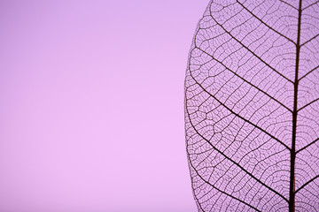 Keuken foto achterwand Decoratief nervenblad Skeleton leaf on purple background, close up