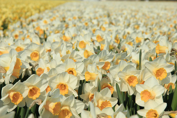 Canvas Prints Narcissus Daffodils in a field