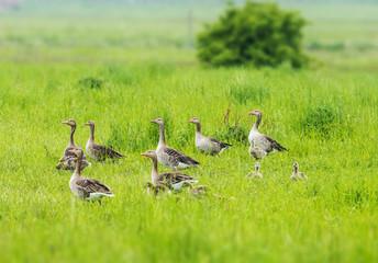Greylag - goose Anser anser - Lake Neusiedl