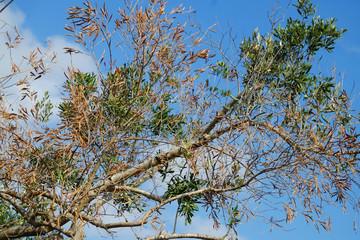 Piante di ulivo attaccate dalla Xilella