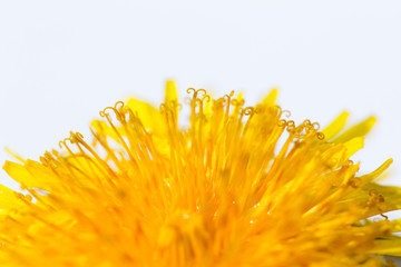 Yellow dandelion flower close up macro