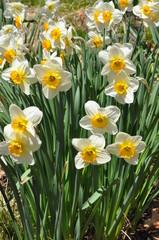 Photo sur Aluminium Daffodils at Hubbard Park in Meriden, Connecticut