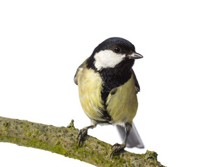 Perched great tit from the front looking right on white