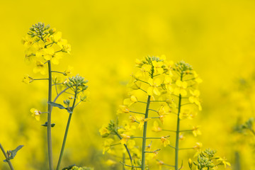 flowering barbarea vulgaris - Rape flower.