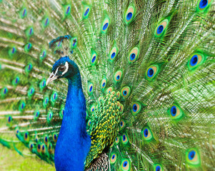 Close up of peacock