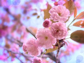 Pink Sakura Flowers on the Blue Sky Background