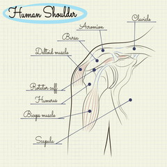 anatomy of the human shoulder