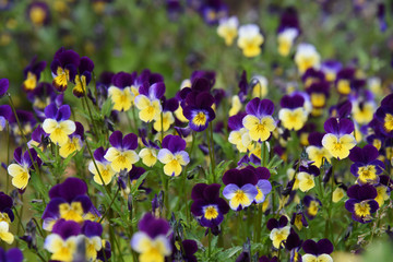 Fiori Violette.Viole Photos Royalty Free Images Graphics Vectors Videos