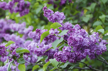 Spoed Foto op Canvas Lilac Spring lilac flowers