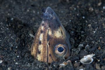 Snake Eel in Black Sand