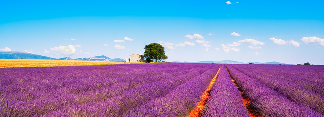 Lavender flowers blooming field, house and tree. Provence, Franc
