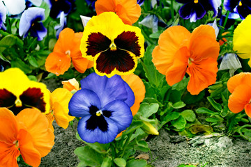 Papiers peints Pansies pansy flowers