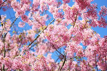 Thai Sakura flower Chiang Mai Thailand