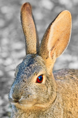Portrait of a Cottontail