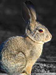 Portrait of a Cottontail 2