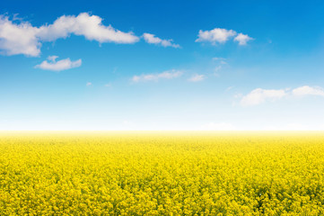 Wall Mural - Field of yellow flowers and blue sky.
