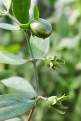 Jojobapflanze