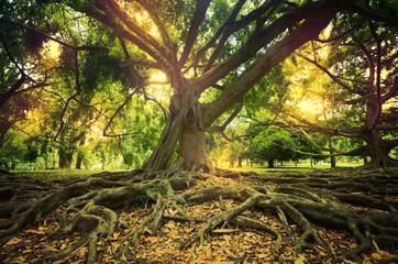 Huge tree at Peradeniya Botanical Garden Sri lanka