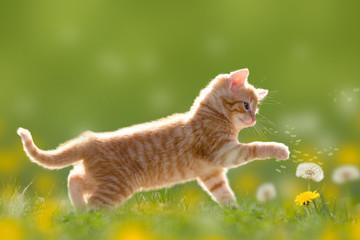 Junge Katze spielt mit Pusteblume/Löwenzahn