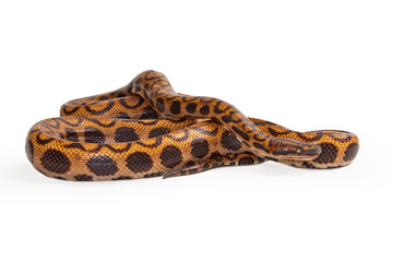 Brazilian Rainbow Snake Coiled Up