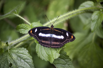 Mariposa asiática