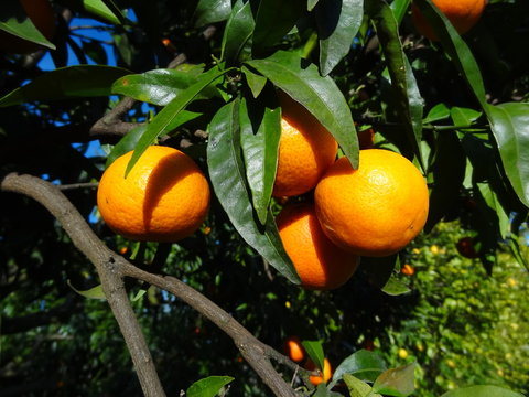clementines_corse