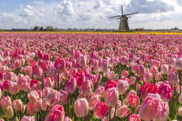 Iconic Dutch tulips bulb farm in spring time at Amsterdam