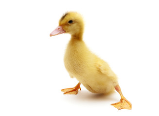little duckling isolated on a white background