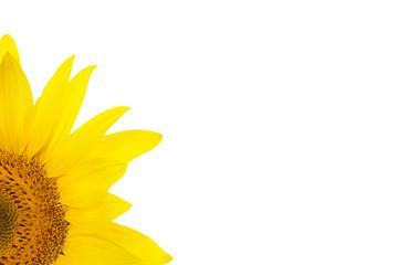 flower sunflower petals isolated white background for design