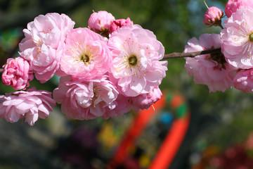 Flowering branch of roses. Spring time