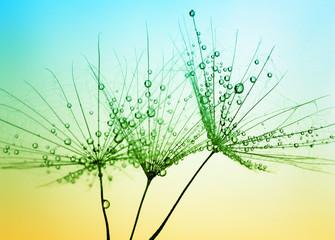 Fototapete - Dandelion seed