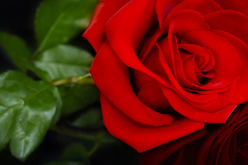 Red Rose and Black Background