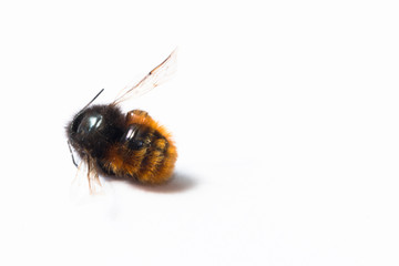 small dead bee on a white background  close-up