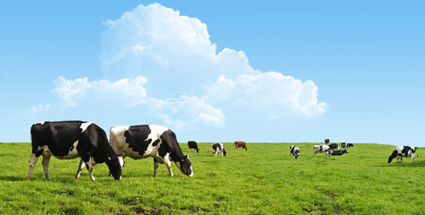 Foto op Canvas Koe Cows grazing on a green field.