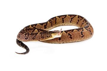 Central American Bushmaster Snake Looking Forward
