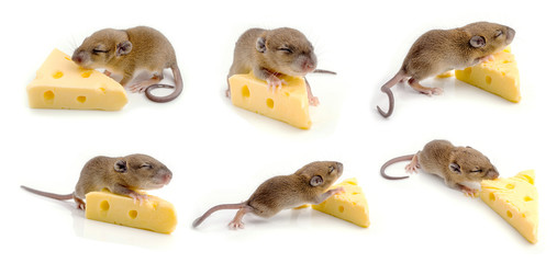 Mouse with a slice of swiss cheese