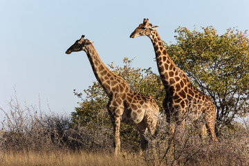 Giraffe Couple in Love, Etosha, Namibia