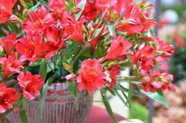 Azalee im Blumentopf rot