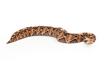 Gaboon Viper Snake Looking Forward