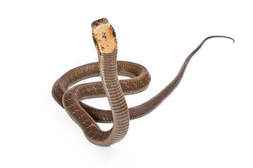 King Cobra Snake Looking Forward