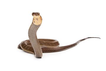 King Cobra Snake Looking Into Camera